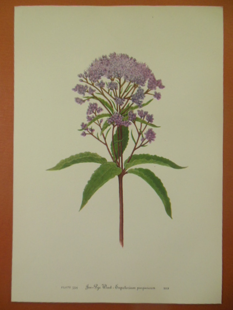 Image for Botanical Print Joe-Lye Weed -- Eupatorium Purpureum