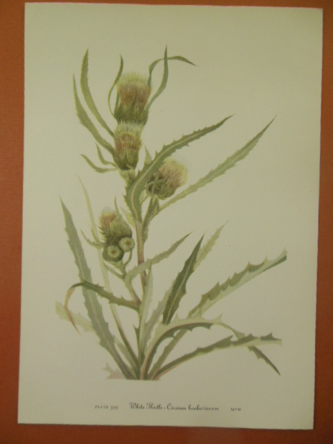 Image for Botanical Print White Thistle - Cirsium Hookerianum