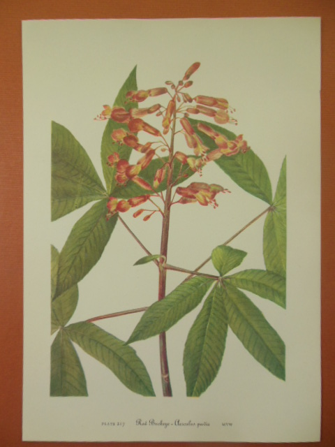 Image for Botanical Print Red Buckeye -Aeseulus Pavia