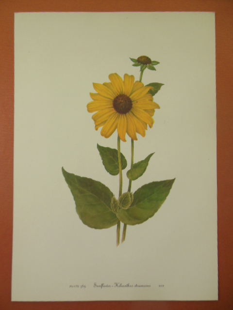 Image for Botanical Print Sunflower - Helianthus Strumosus