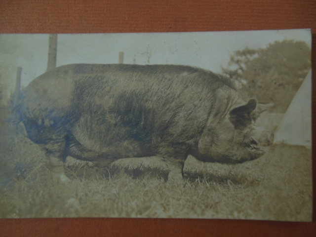 Image for Real Photo Postcard O.C. Barber Thoroughbred Pig (Barberton, Ohio 1911)
