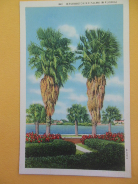 Image for Postcard Washingtonian Palms in Florida (1930's)
